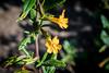 Sticky Monkey Flower - Point Lobos #6835