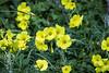 Yellow Flax - Point Lobos #7221
