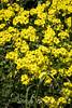 Yellow Flax - Point Lobos #7291