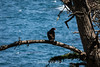 Turkey Vulture - Point Lobos #7247
