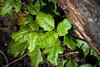 Poison Oak - Point Lobos #6845