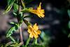 Sticky Monkey Flower - Point Lobos #6834