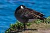 Canada Goose - Point Lobos #6935