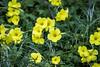 Yellow Flax - Point Lobos #7213