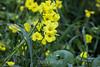 Yellow Flax - Point Lobos #7286
