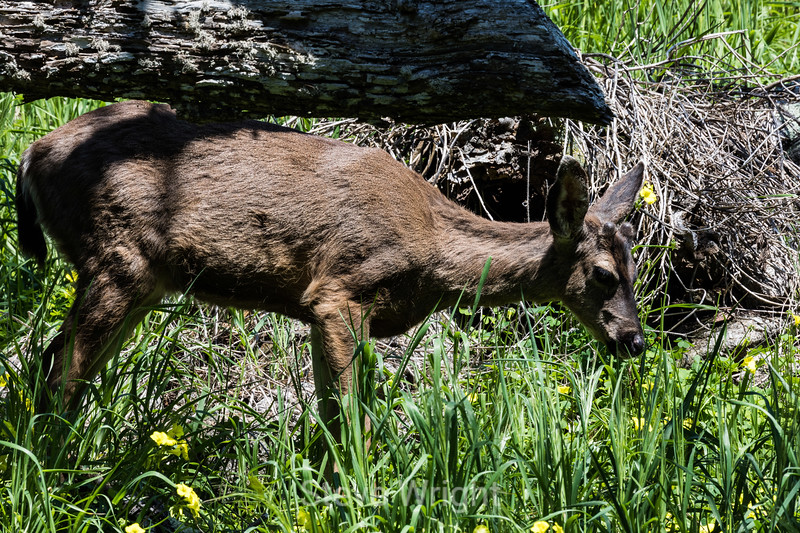 Black-Tailed Deer - Point Lobos #7318