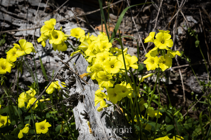 Yellow Flax - Point Lobos #7327