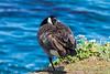 Canada Goose - Point Lobos #6930