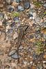 Western Fence Lizard - Point Lobos #7031