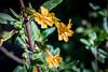 Sticky Monkey Flower - Point Lobos #6837