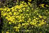 Yellow Flax - Point Lobos #7290