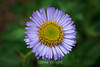 Asters - Point Lobos #7709