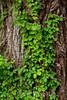 Ivy - Point Lobos #7729