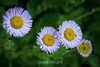 Asters - Point Lobos #8357
