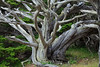 Monterey Cypress - Point Lobos #8403