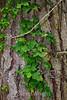 Ivy - Point Lobos #7628