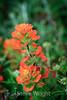 Paintbrush - Point Lobos #7923