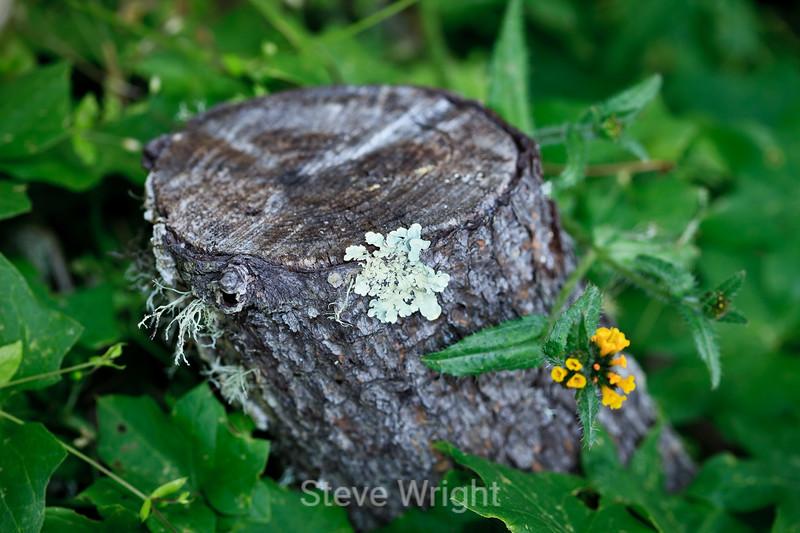 Lichen & Flower - Point Lobos #8308