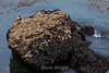 Malards & Rock - Point Lobos #7818