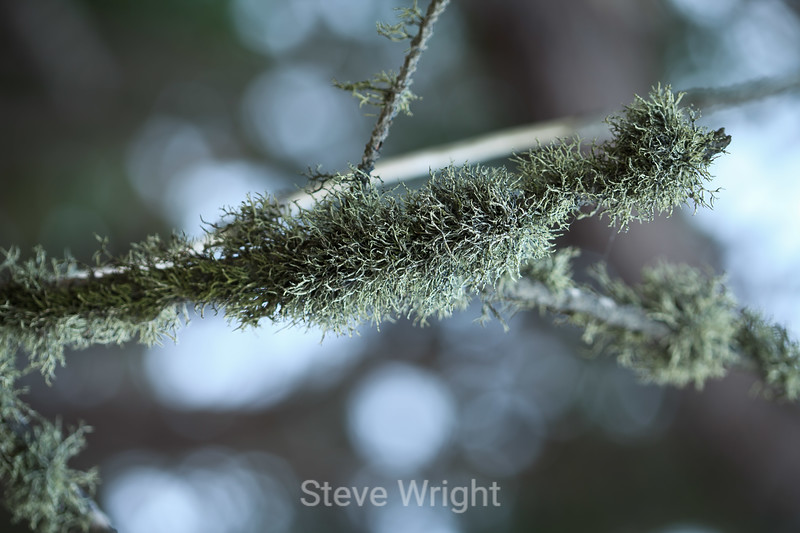 Lichen - Point Lobos #7648