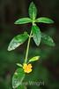 Monkey Flower - Point Lobos #8367