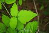 Blackberry Vine Leaves - Point Lobos #7590