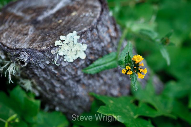 Lichen & Flower - Point Lobos #8313