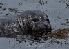 Harbor Seals - Point Lobos #8170-2