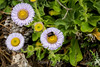 Asters and Bumble Bee - Point Lobos #9754