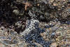 Mussels - Point Lobos #9723