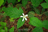 Blackberry blossom - Point Lobos #9008