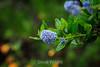 Blue Blossom - Point Lobos #8957