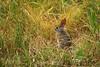 Bush Rabbit - Point Lobos #8993-2