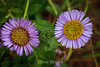 Asters - Point Lobos #9042
