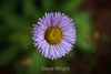 Asters - Point Lobos #8890