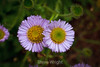 Asters - Point Lobos #9040