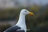 Seagulls - Point Lobos #3577