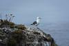 Seagulls - Point Lobos #3572