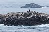 Sea Lions - Point Lobos #4076