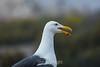 Seagulls - Point Lobos #3576