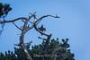 Turkey Vulture - Point Lobos #3662