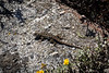 Western Fence Lizard - Point Lobos #3707