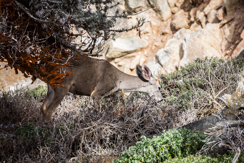 Black-Tailed Deer - Point Lobos #5389
