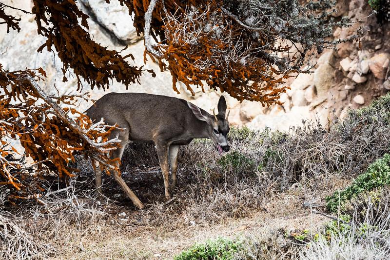 Black-Tailed Deer - Point Lobos #5383