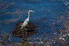 Great Blue Heron - Point Lobos #5141
