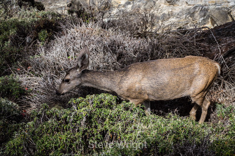 Black-Tailed Deer - Point Lobos #5395