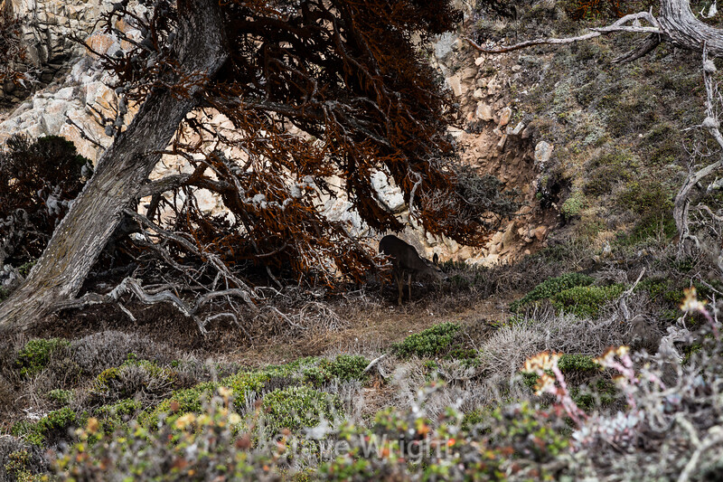 Black-Tail Deer - Point Lobos #5363
