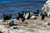 Cormorants - Point Lobos #4830