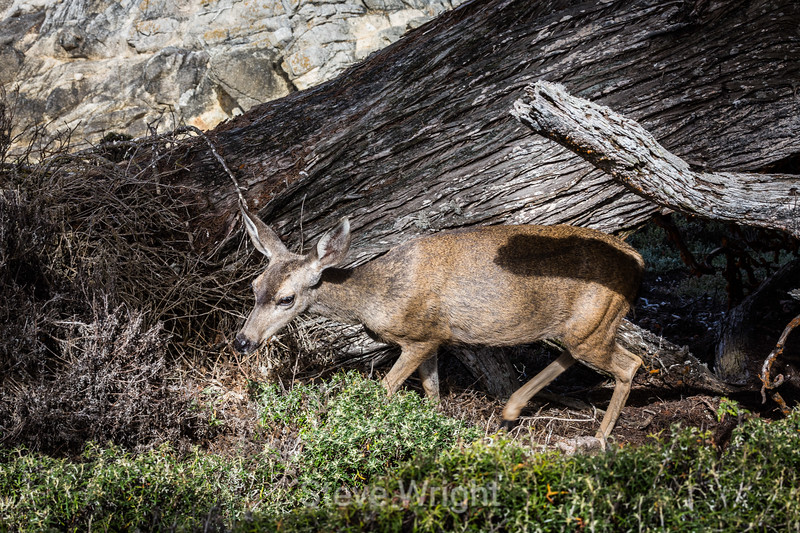 Black-Tailed Deer - Point Lobos #5393