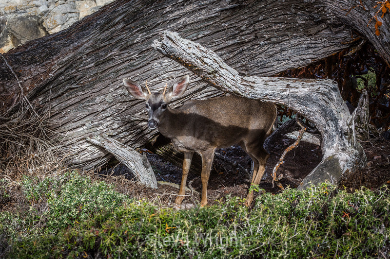 Blacky-Tailed Deer - Point Lobos #5398
